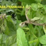 Zaraza ziemniaka liście