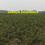 Zaraza ziemniaka na polu