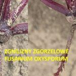 pasożyt Fusarium oxysporum