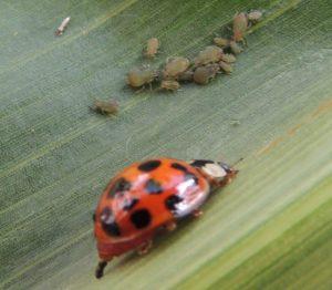 Mszyca zbożowa na kukurydzy