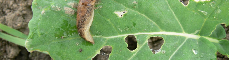 Żerowanie ślimaków na liściach ogranicza fotosyntezę